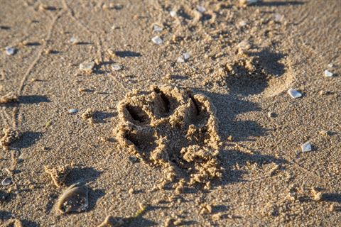 Dog paw print on sand.jpg